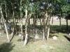 grove_of_aspen