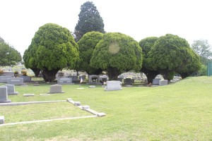 Trees in a cemetery